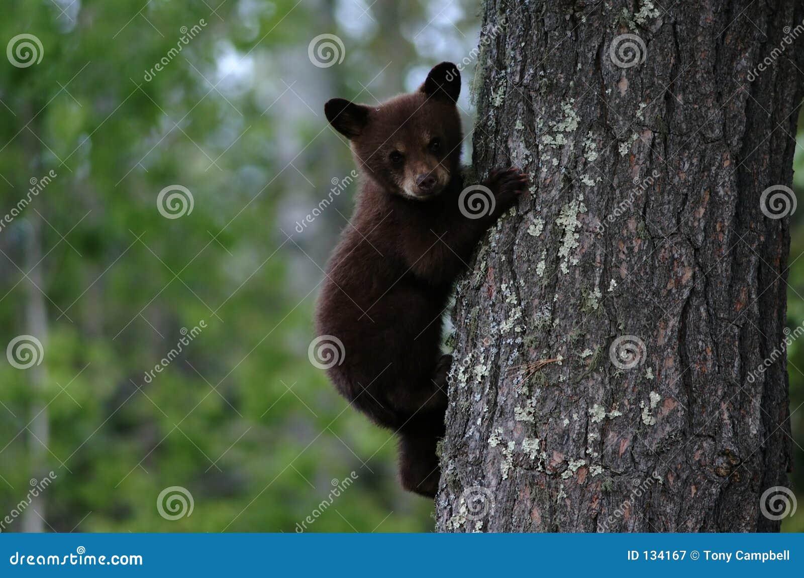 Black Bear Cub Tree Royalty Free Stock Photography - Image: 134167