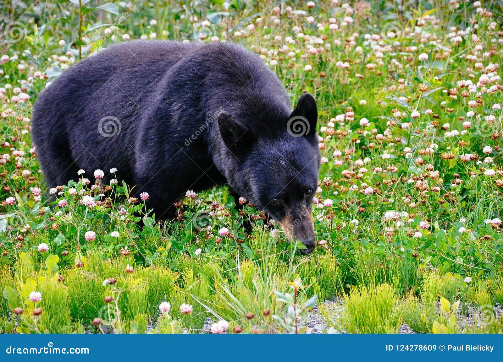 A black bear grazes in the grass near Dease Lake, British Columbia.