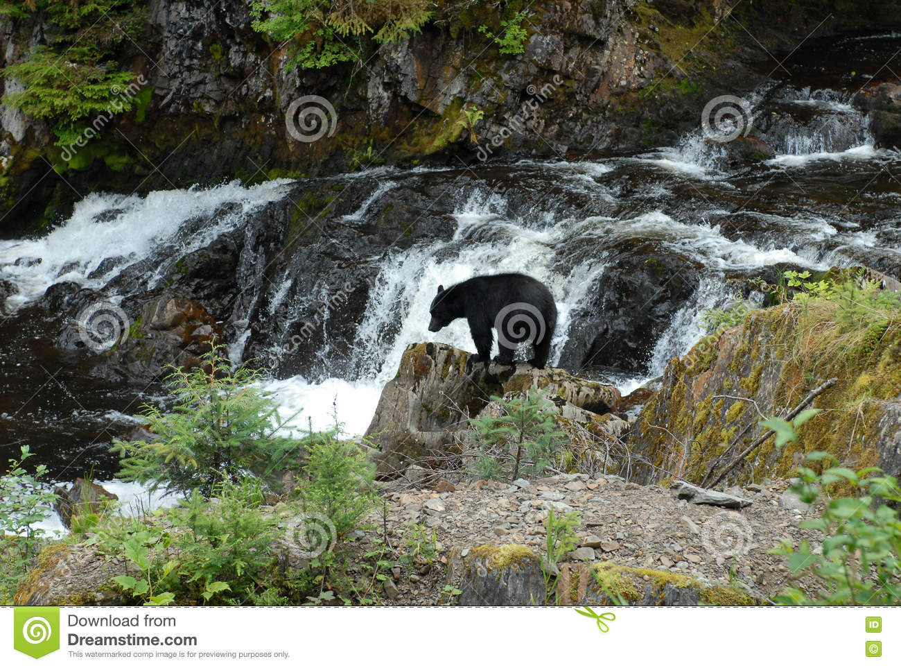 Download Black Bear Looking For Salmon At Prince Of Whales In Alaska Stock Photo - Image of looking, alaska: 79886466
