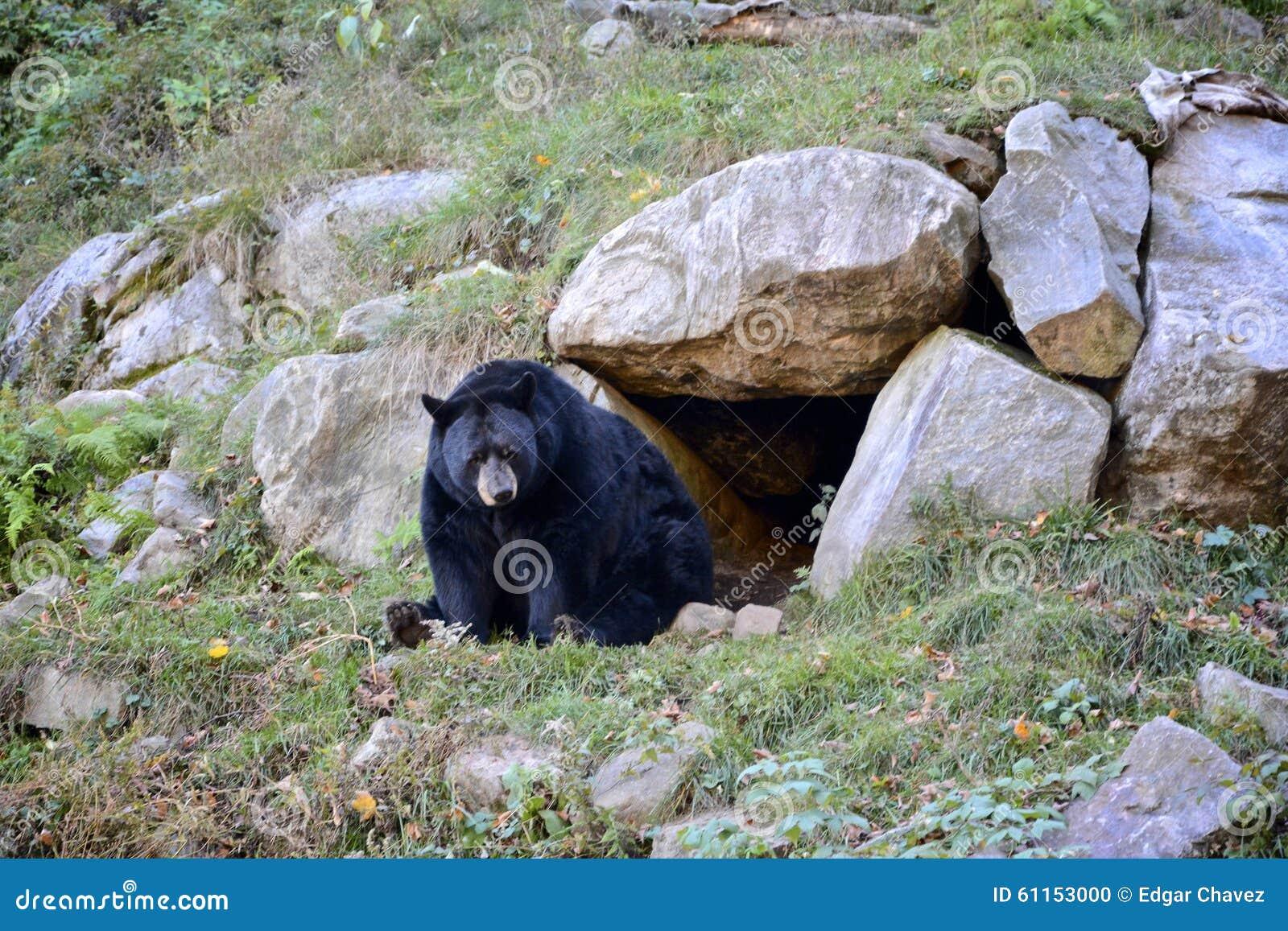 Download Black bear stock photo. Image of trees, entrance, shot - 61153000