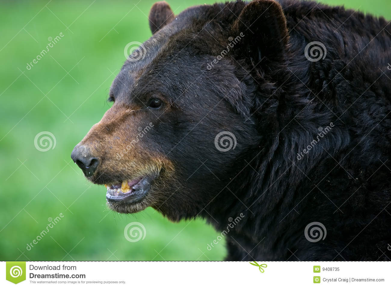 Black bear head profile - photo#3