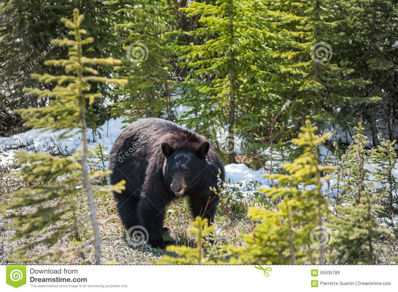 Black Bear Side View Stock Image Image Of Canada Black