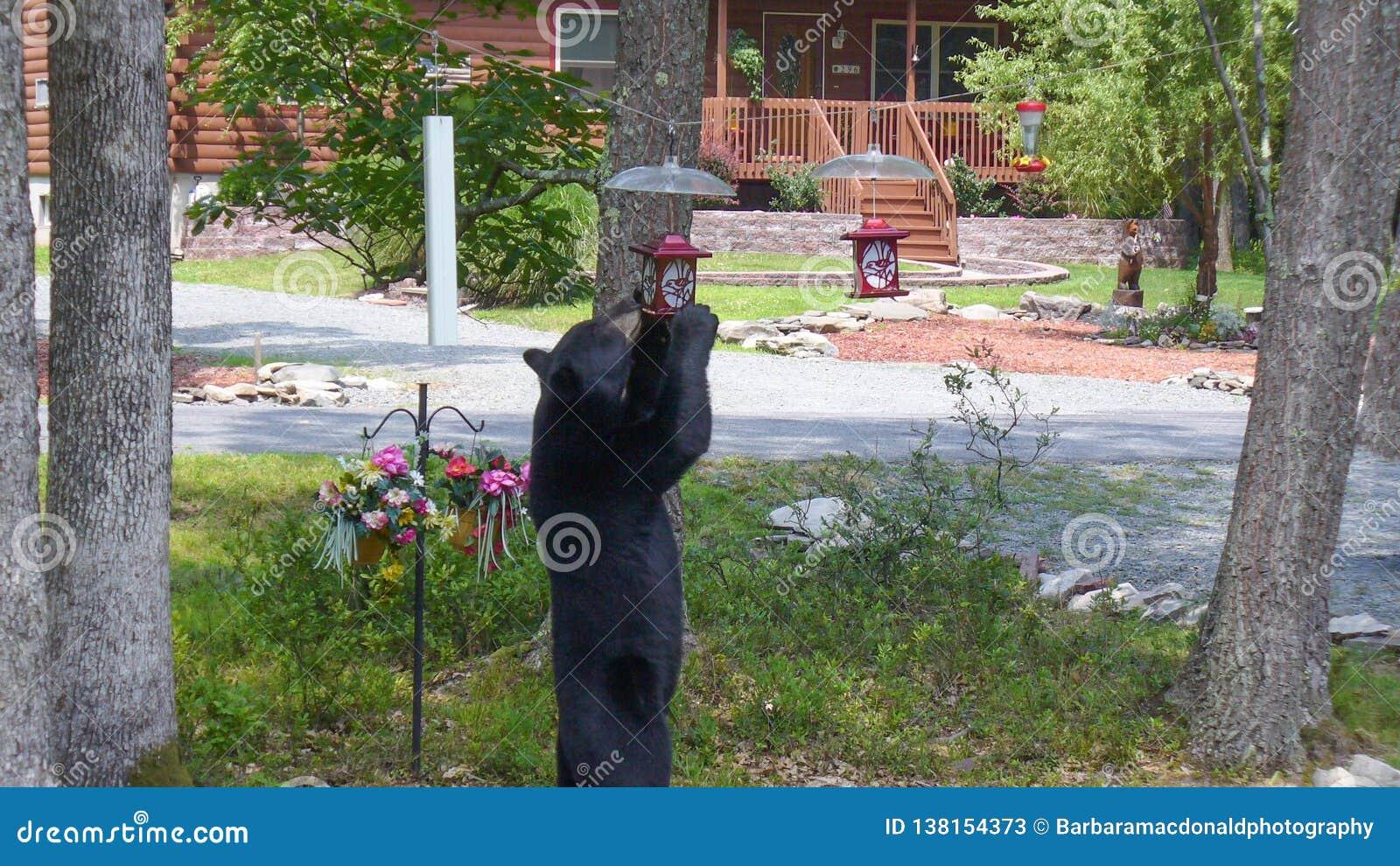 Black Bear Standing to Eat From a Bird Feeder