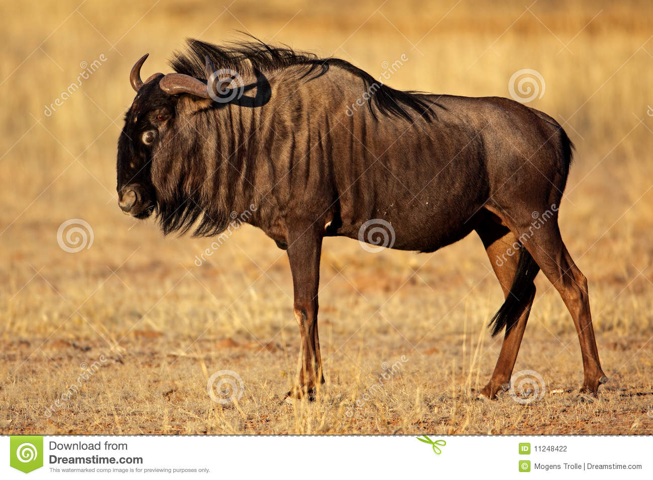 Black-bearded Wildebeest, Kalahari Desert Stock ...