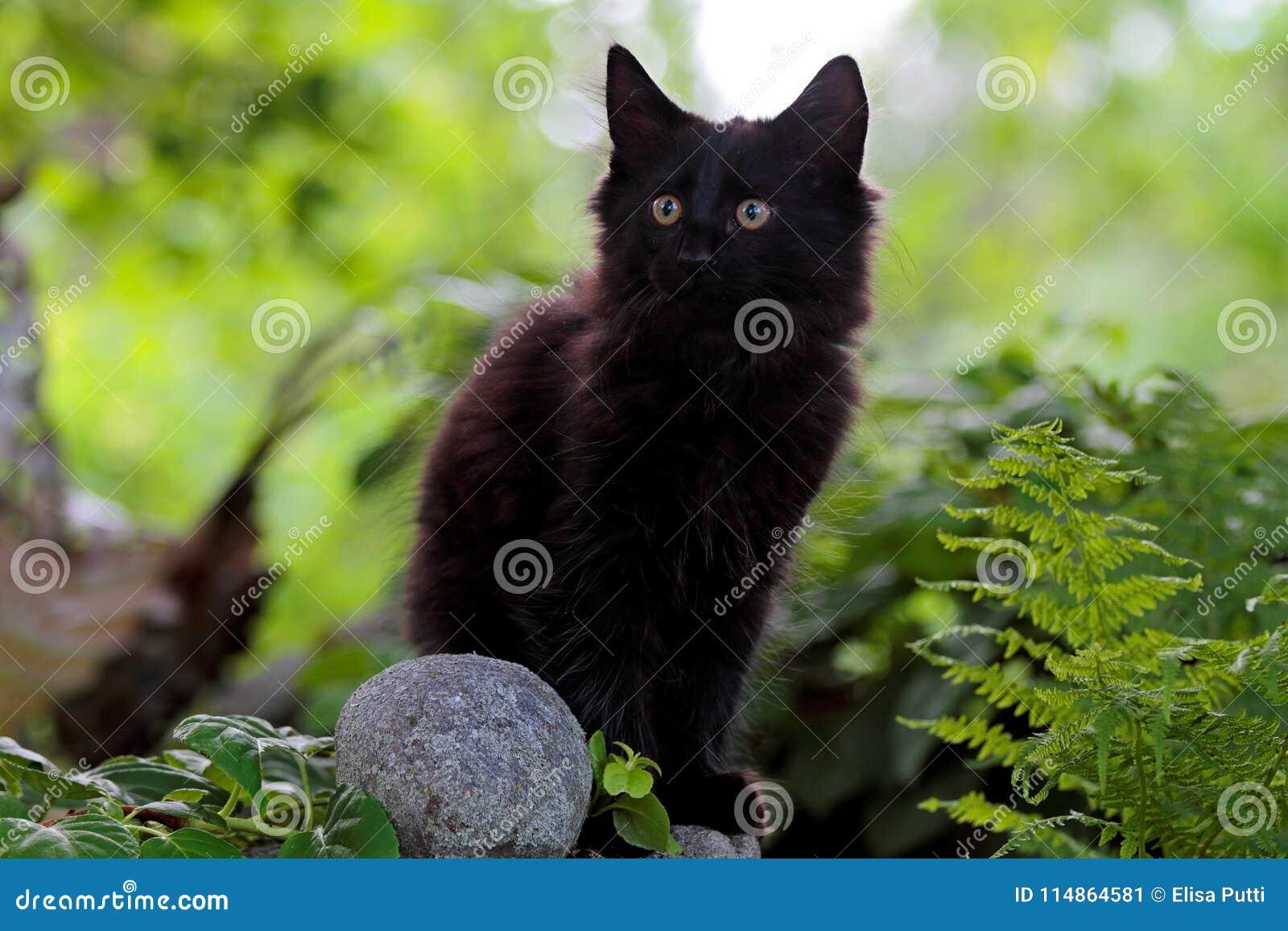 Black Norwegian Forest Cat Kitten On A Stone Stock Image Image Of Animal Norwegian 114864581