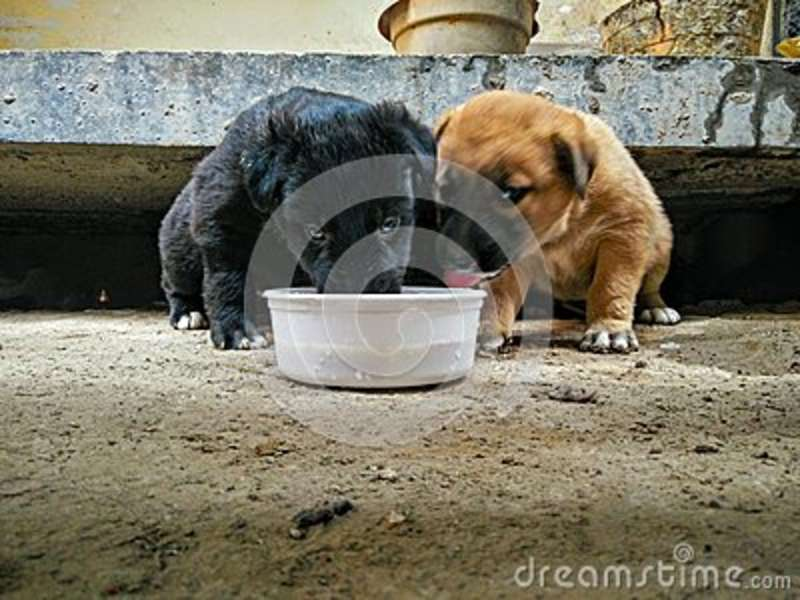 Black And Beige Colour Puppies Drinking Milk Stock Image Image Of