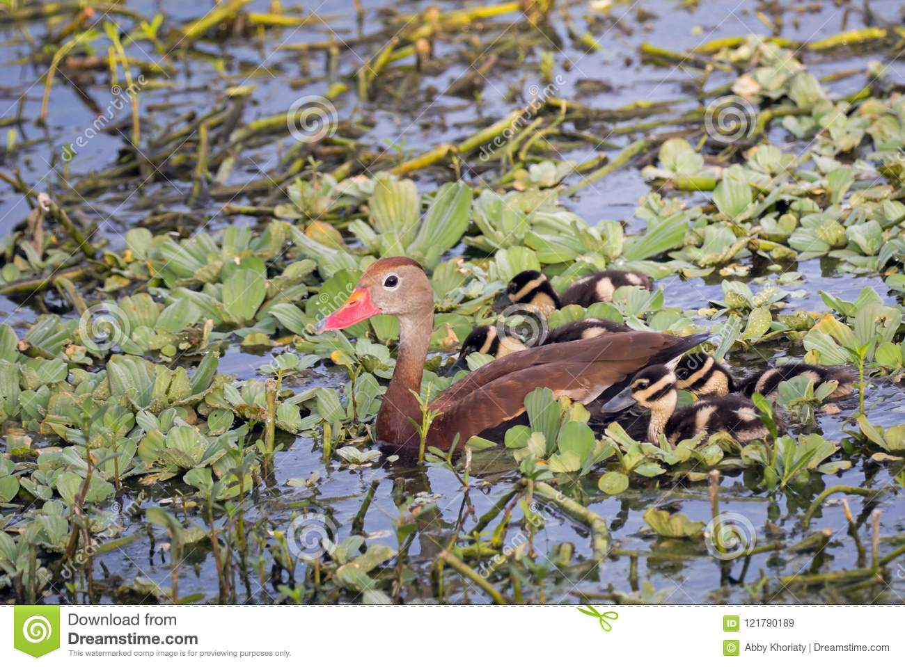 Black-bellied Whistling Duck with baby ducklings