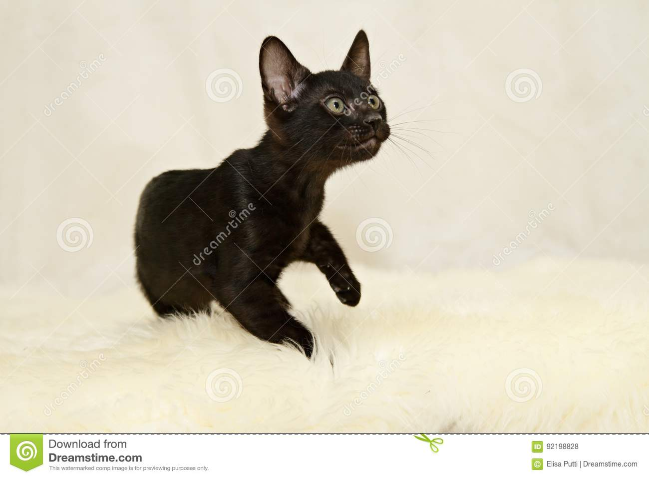 Black Bengal Cat Kitten Stock Image