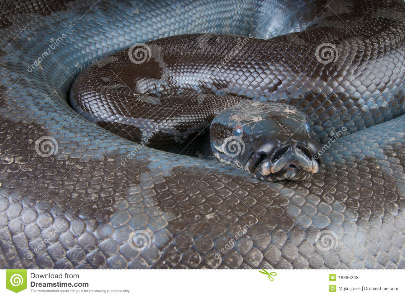 Black blood python stock photo  Image of snake, leather