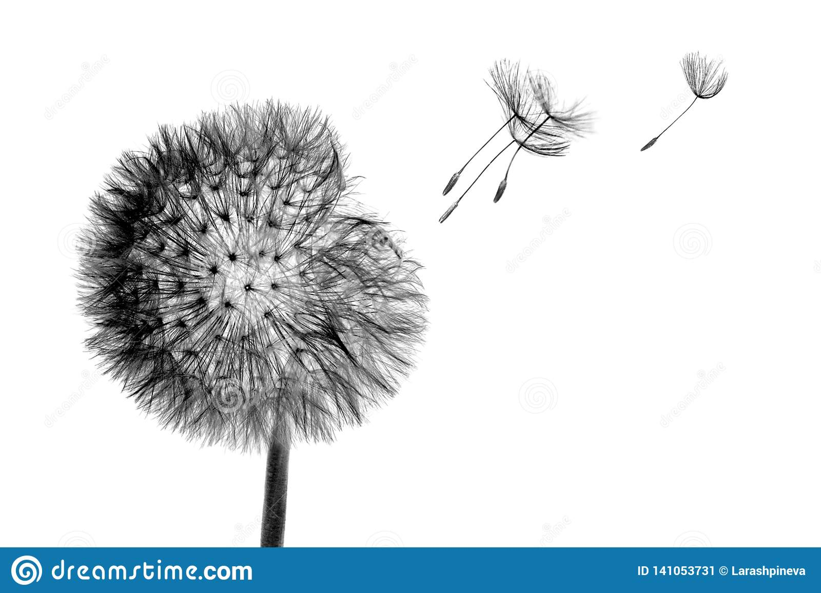 Black bloom head Dandelion flower with flying seeds in wind isolated on white background
