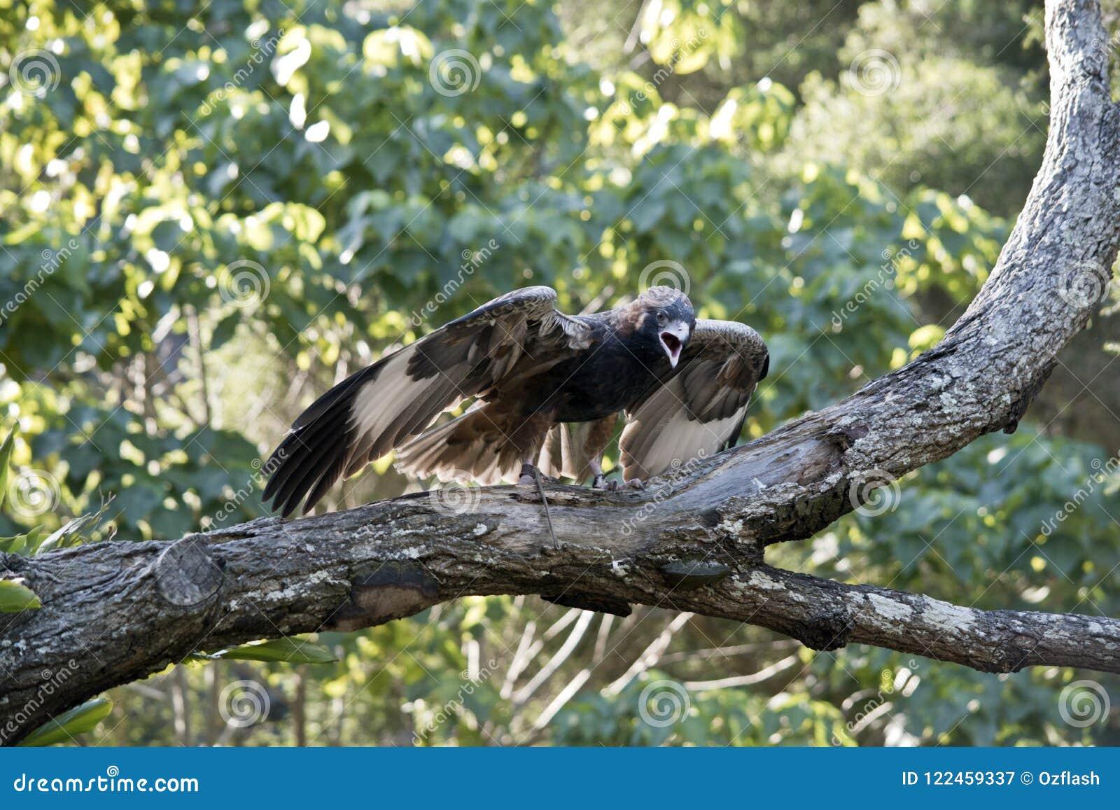 A black breasted buzzard