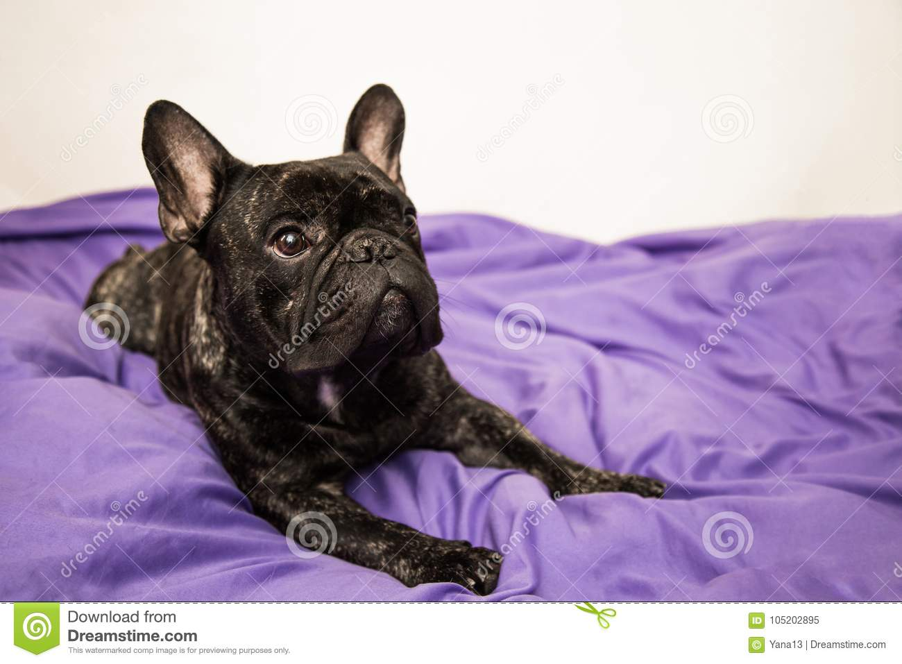Black Brindle French Bulldog Lying On The Bed Purple Color Closeup