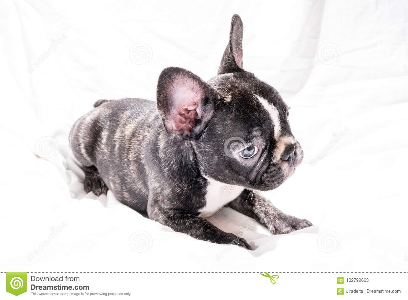 Black Brindle French Bulldog Puppy Stock Image Image Of Ears