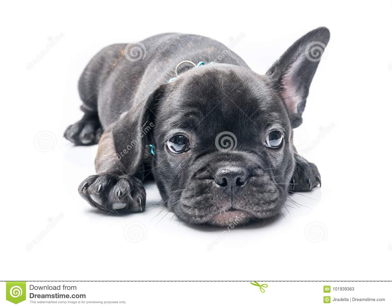 Black Brindle French Bulldog Puppy Crouch Stock Image Image Of