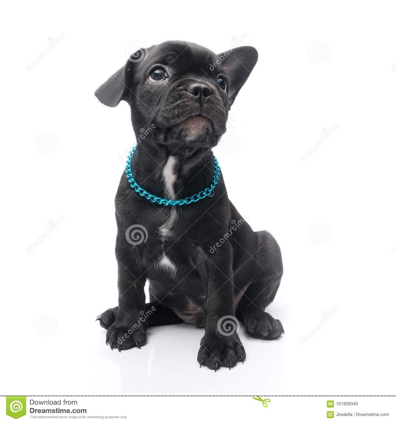Black Brindle French Bulldog Puppy Siting Stock Photo Image Of