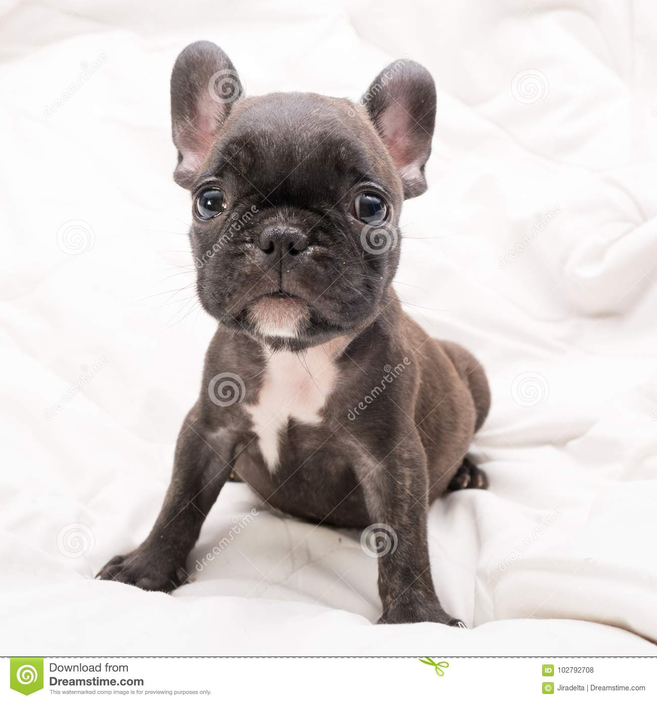 Black Brindle French Bulldog Puppy Stock Photo Image Of Funny