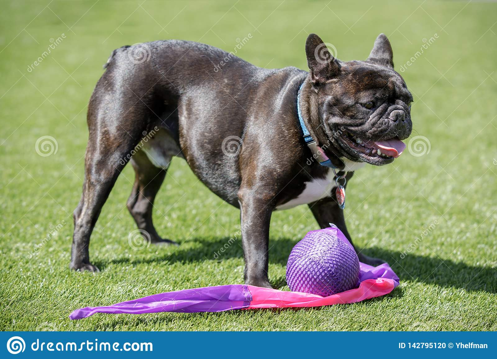 Black Brindle White Frenchie Male Standing Over His Toy Stock Photo Image Of Black Doggy 142795120