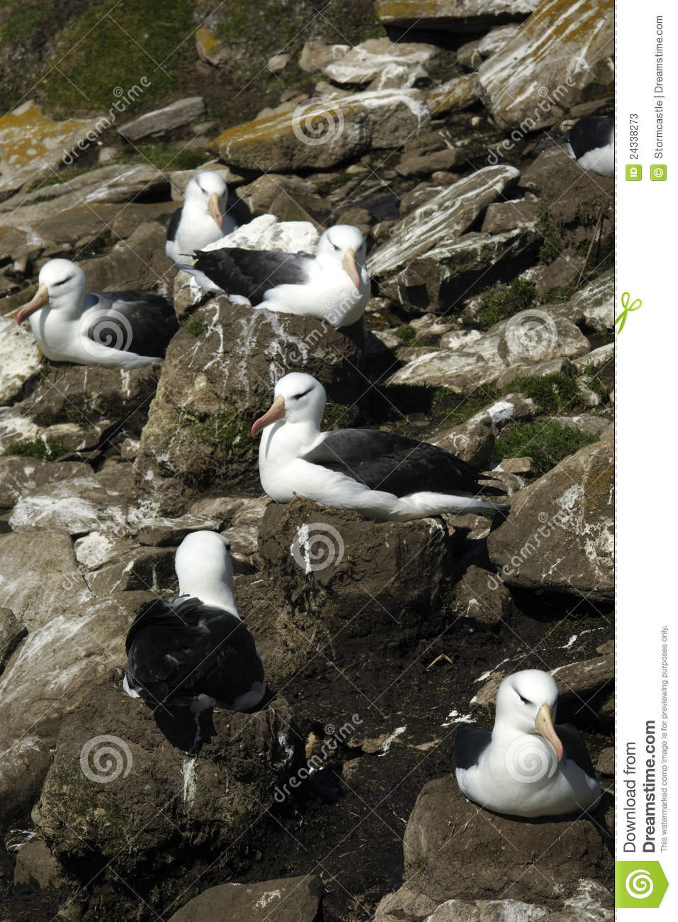 Download Black Browed Albatross stock image. Image of wings, south - 24338273