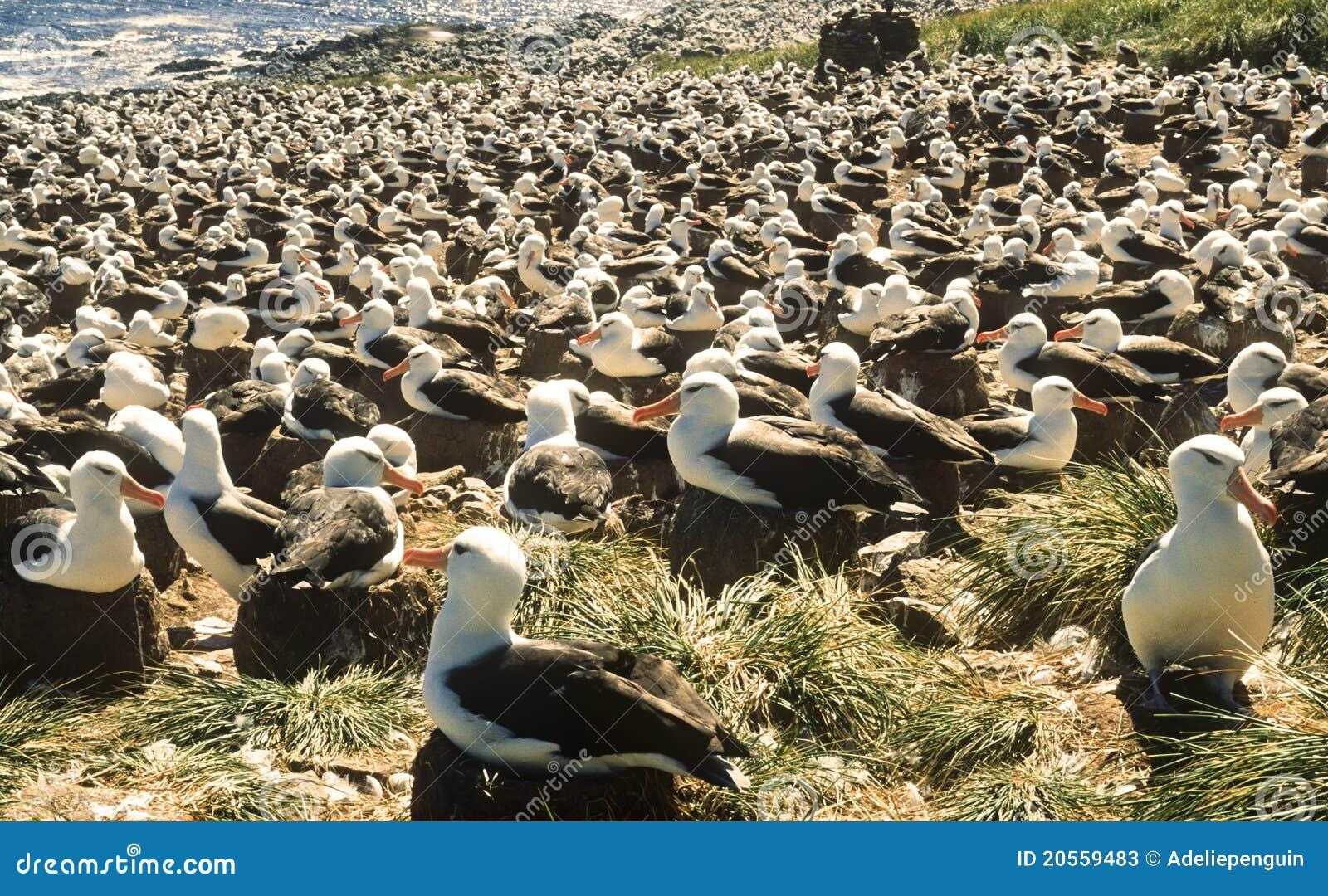 Download Black Browed Albatross Colony, Falkland Islands Stock Image - Image of albatrosses, seabirds: 20559483