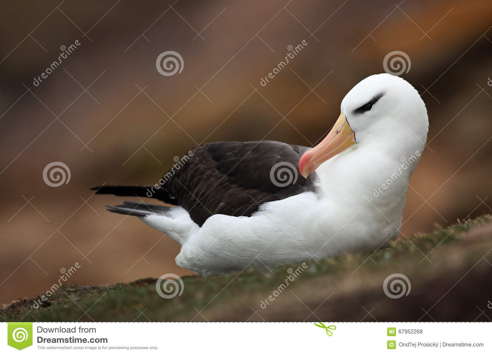 Black-browed albatross, Thalassarche melanophris, on the Falkland Islands