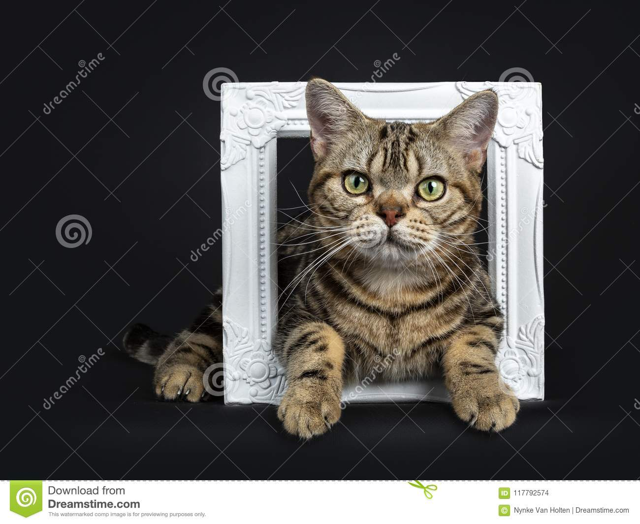 Brown and black tabby American Shorthair cat kitten lying through a white photo frame isolated on white background looking at came