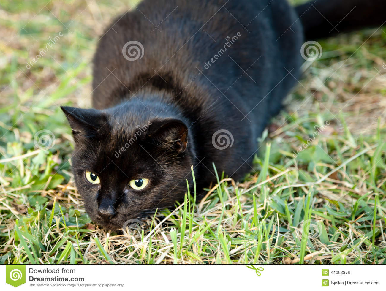 Cats Eyes When Hunting