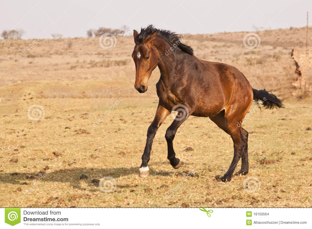 brown horse with black - photo #8