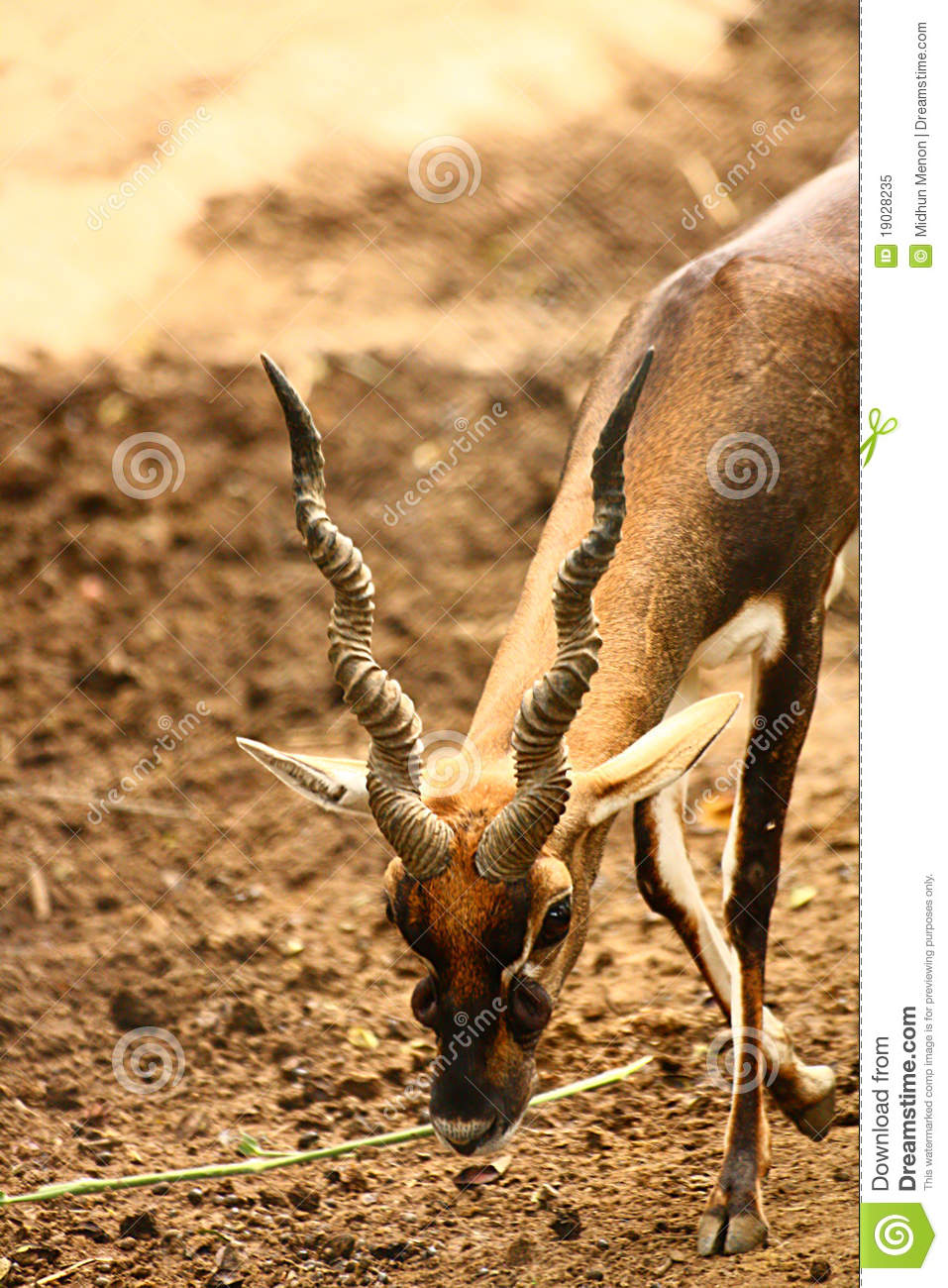 black buck walking with long curved horn royalty free