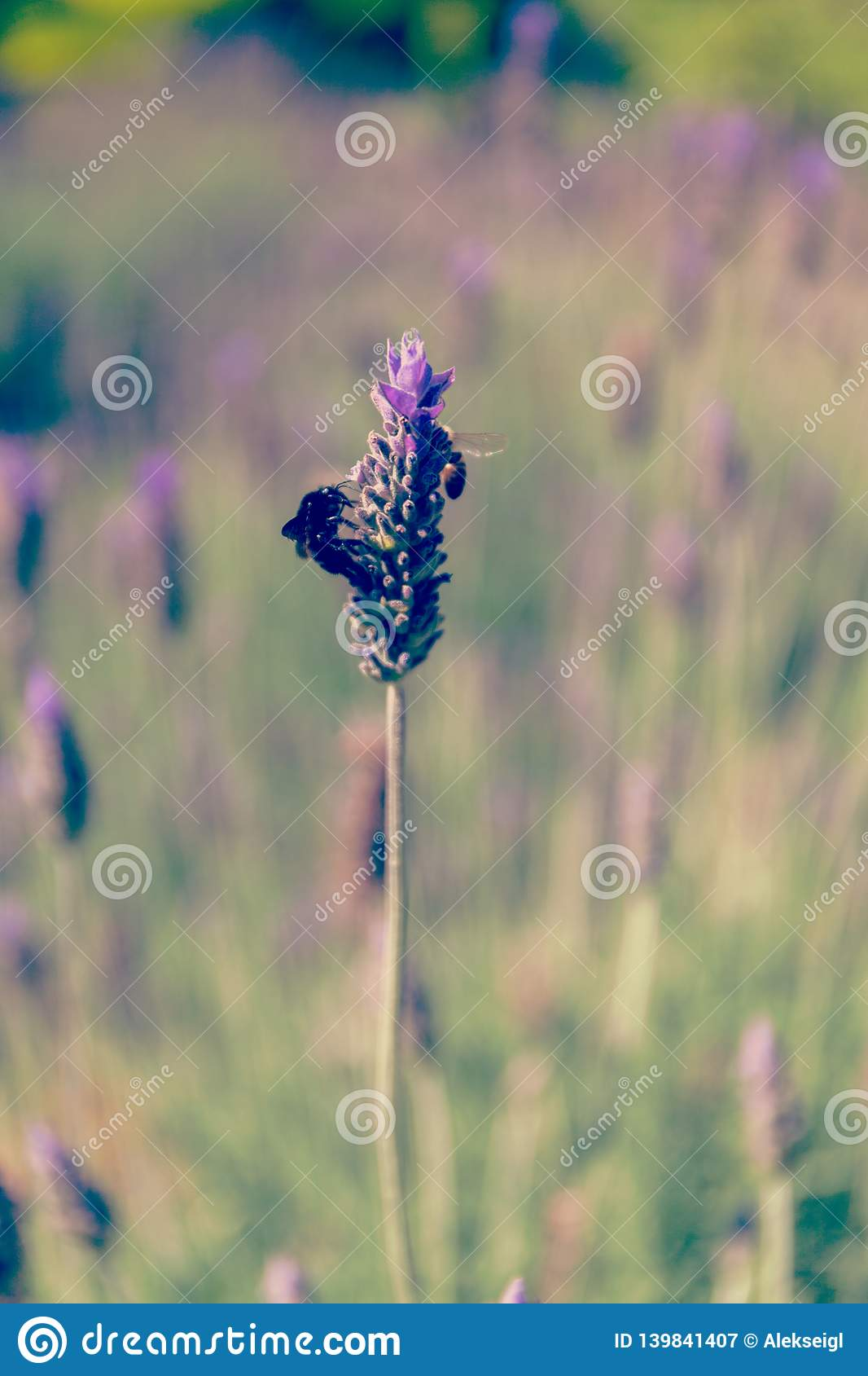Black bumblebee extracts nectar on a lavender flower