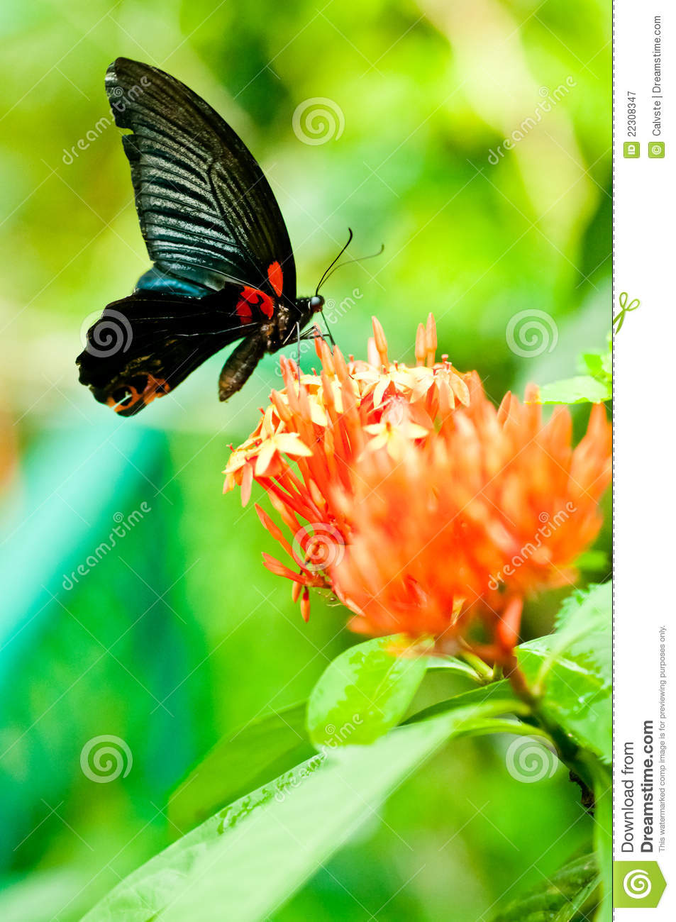The Great Mormon butterfly on tropical flowers