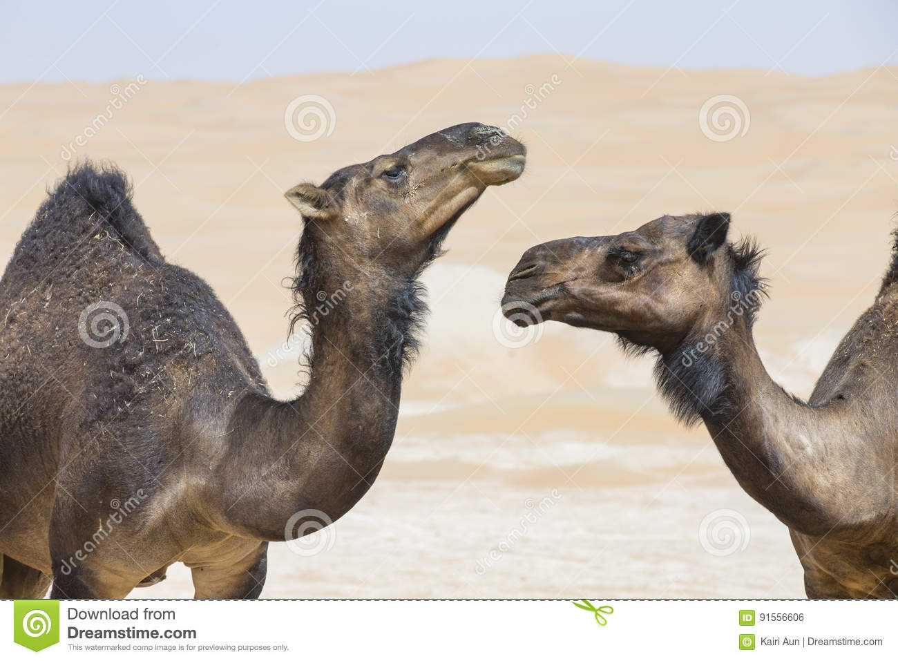 Black Camels in Liwa desert