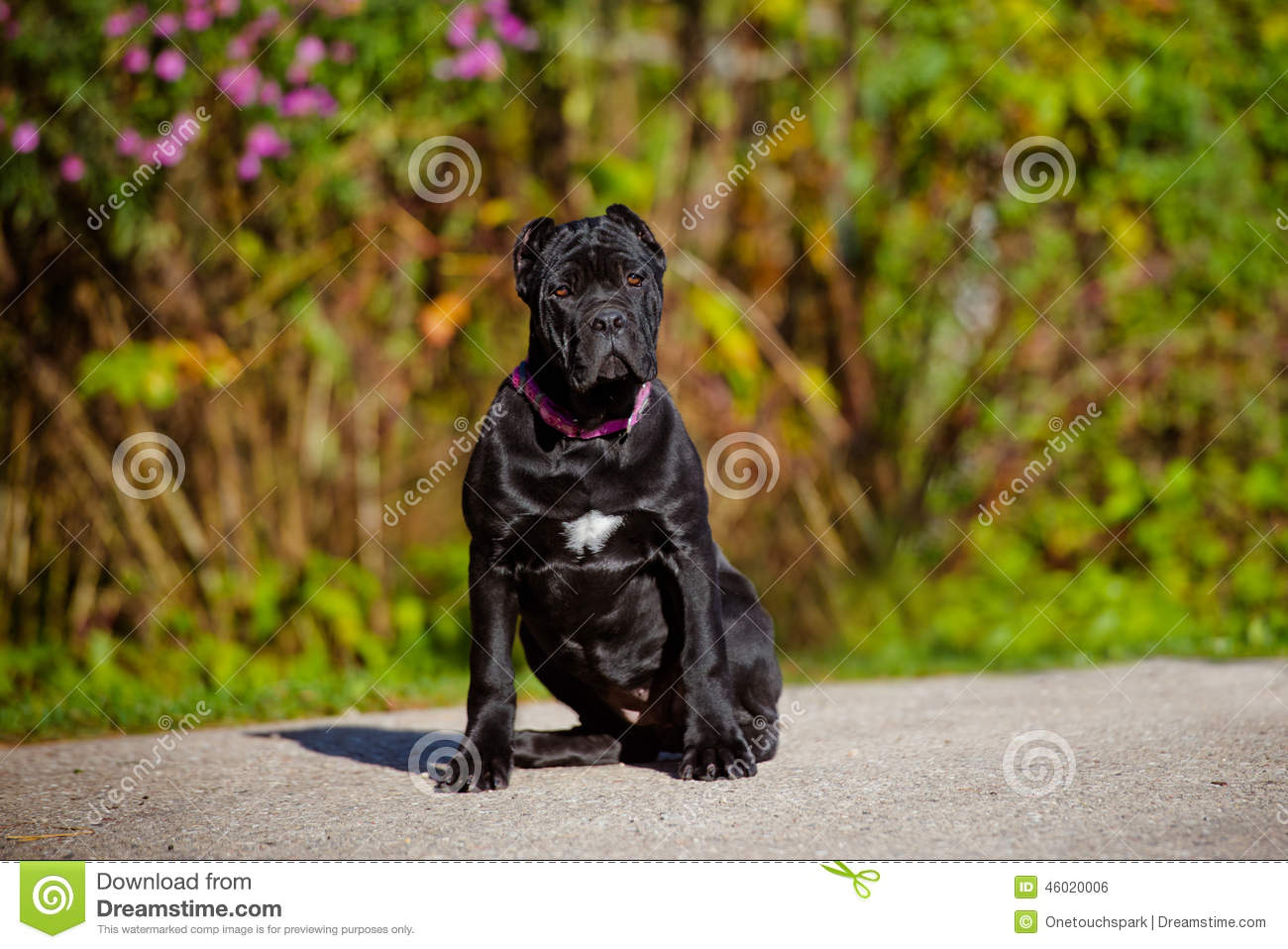 Black Cane Corso Puppy Outdoors Stock Photo Image Of Looking