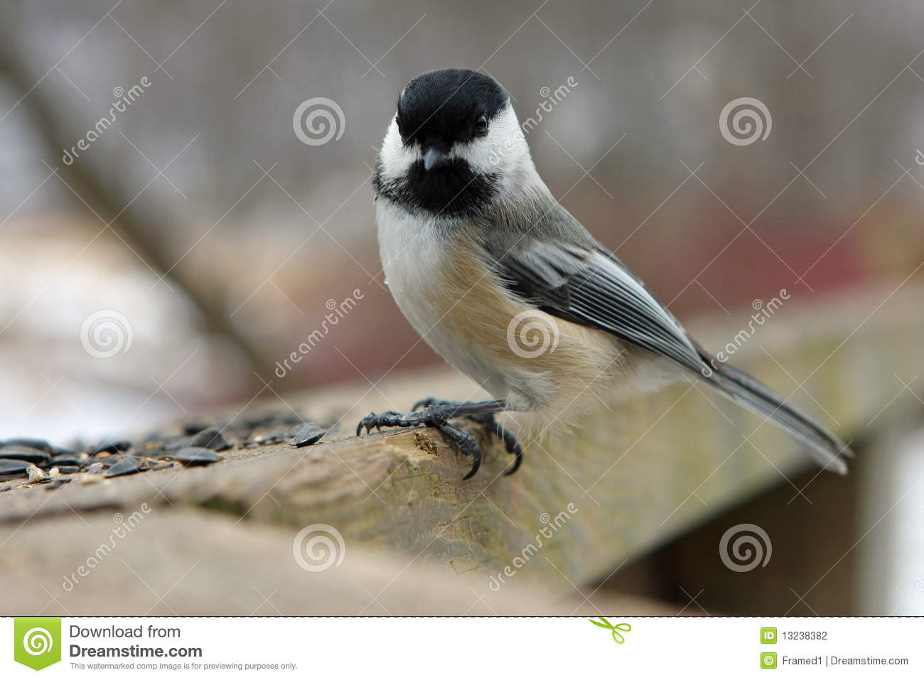 Black-capped Chickadee Stock Photography - Image: 13238382