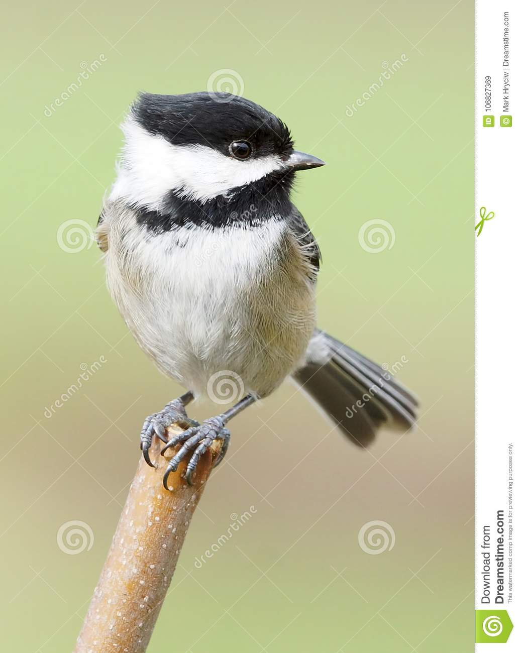 Black-Capped Chickadee Balancing Perched On A Stick On A Windy Day