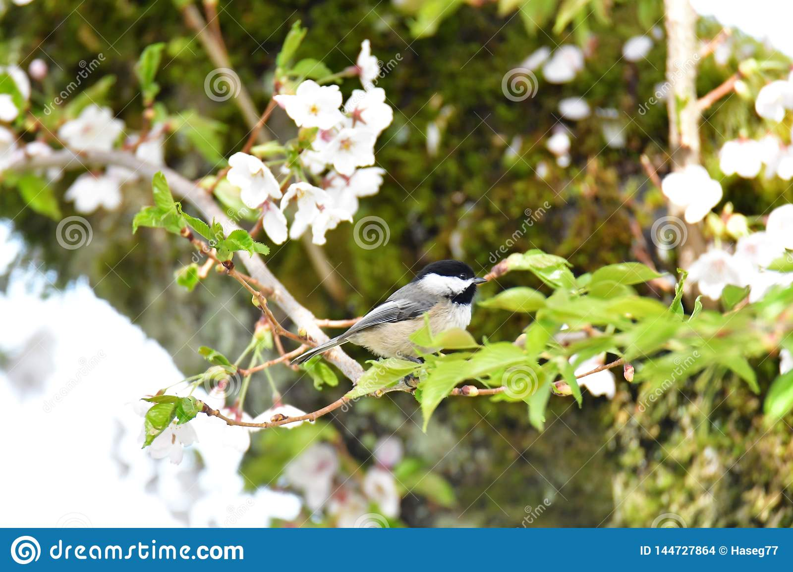 Black capped chickadee in cherry blossom