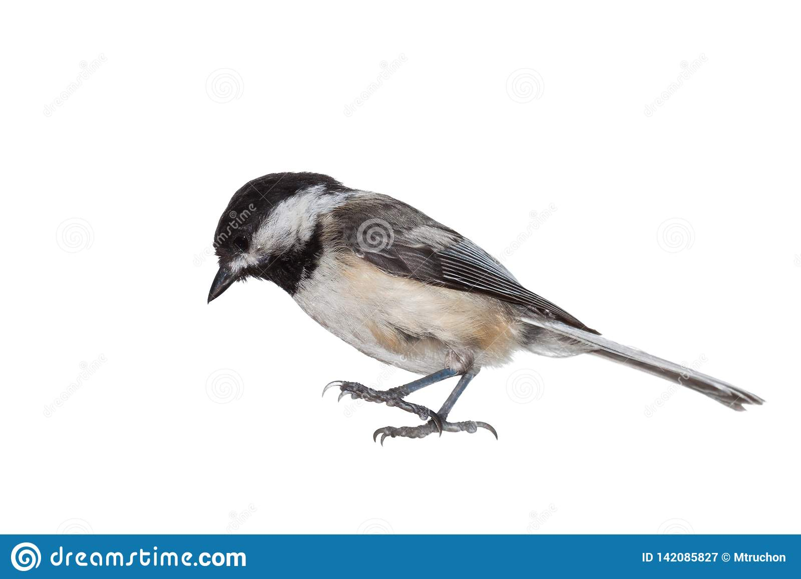 Black-capped Chickadee on White
