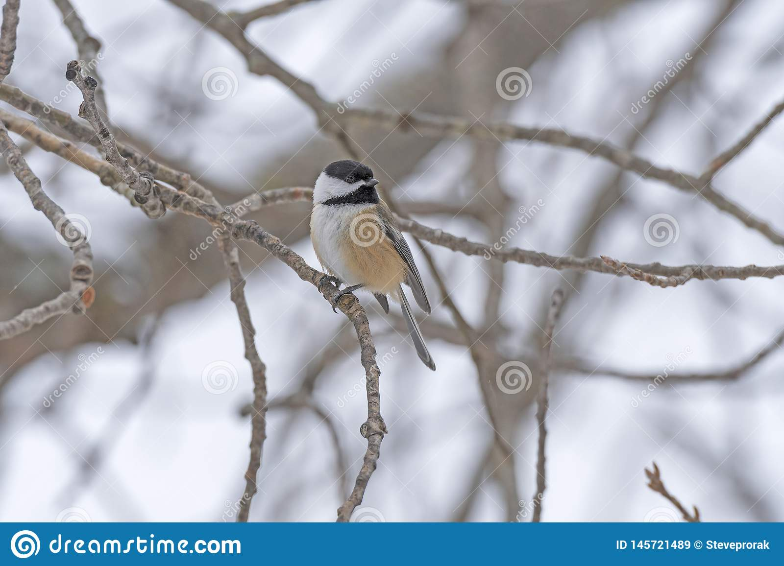 Black Capped Chickadee in the Winter Forest