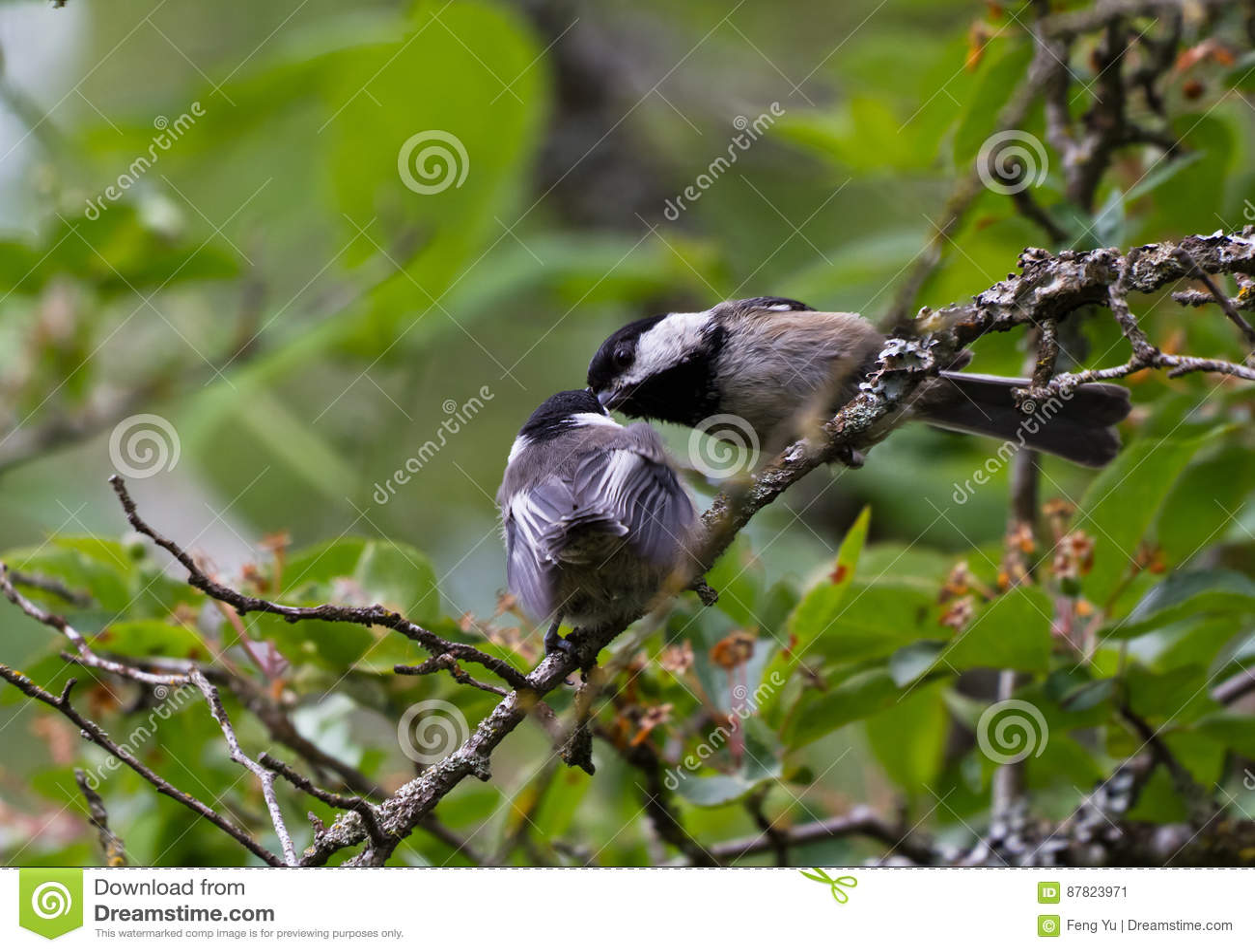 Black capped chickadeen