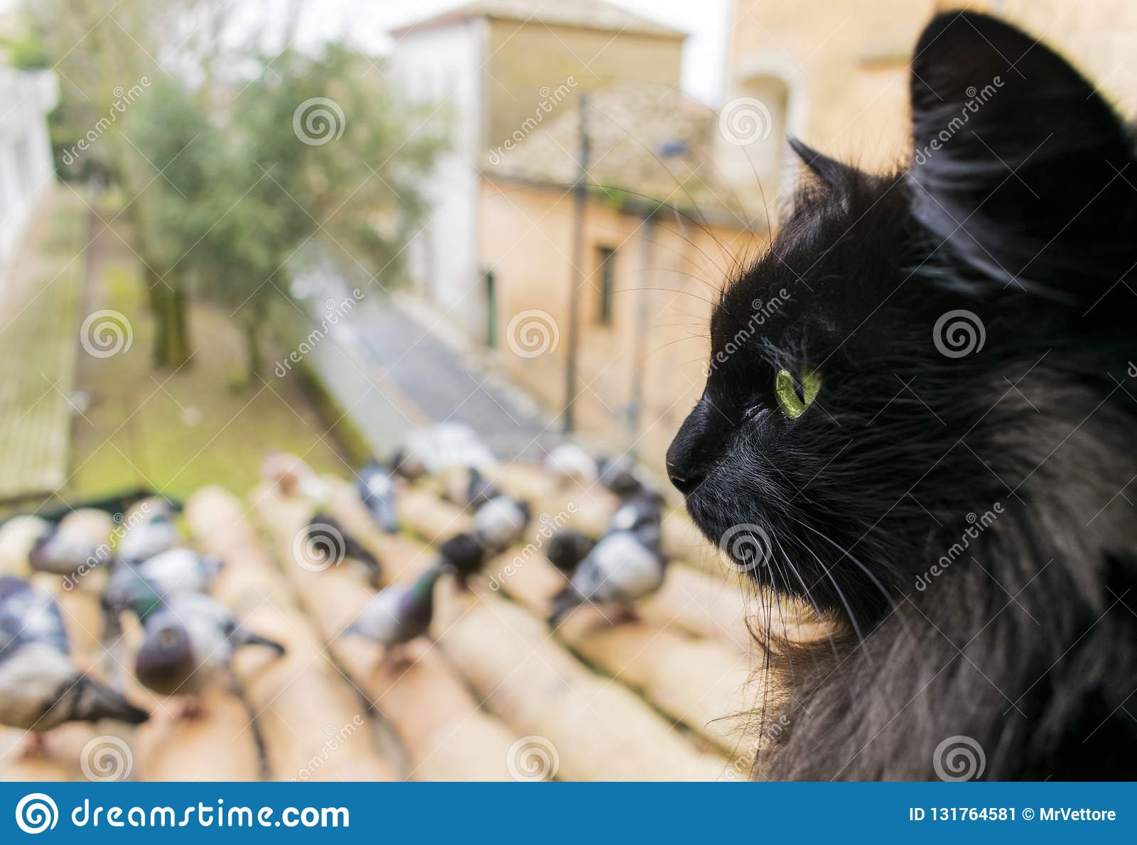 A black cat with green eyes looks at the pigeons. Closeup. Сat in focus. Stock image.
