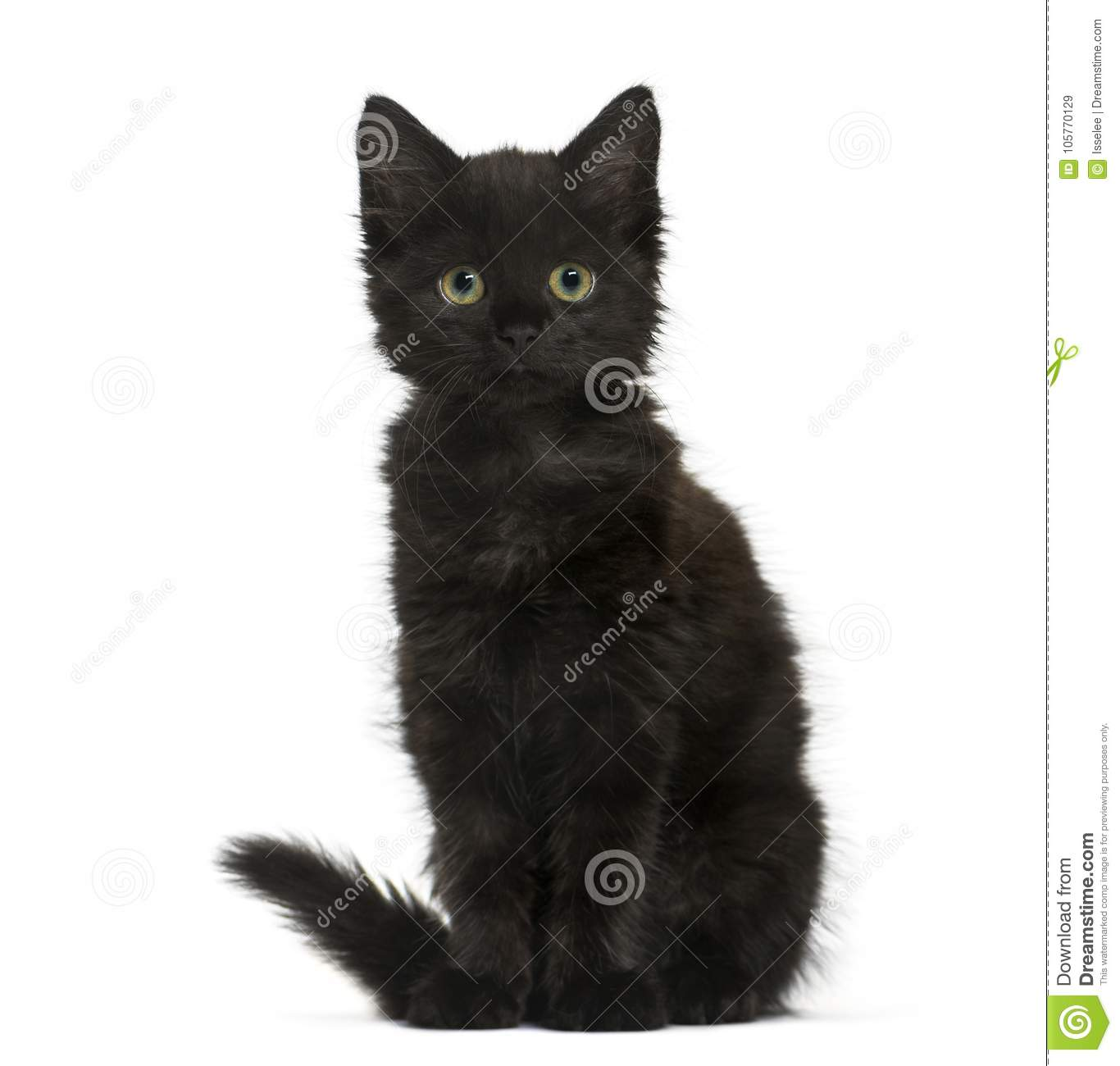 Download Black Cat Kitten Sitting And Looking At The Camera, Isolated On Stock Image - Image of animal, nobody: 105770129
