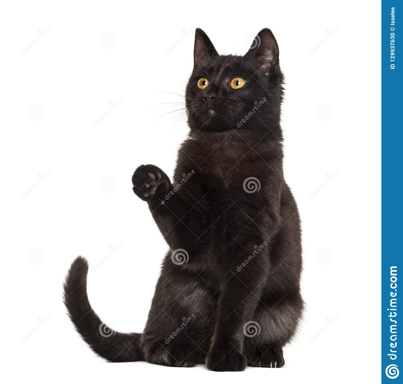 Black cat pawing in front of a white background