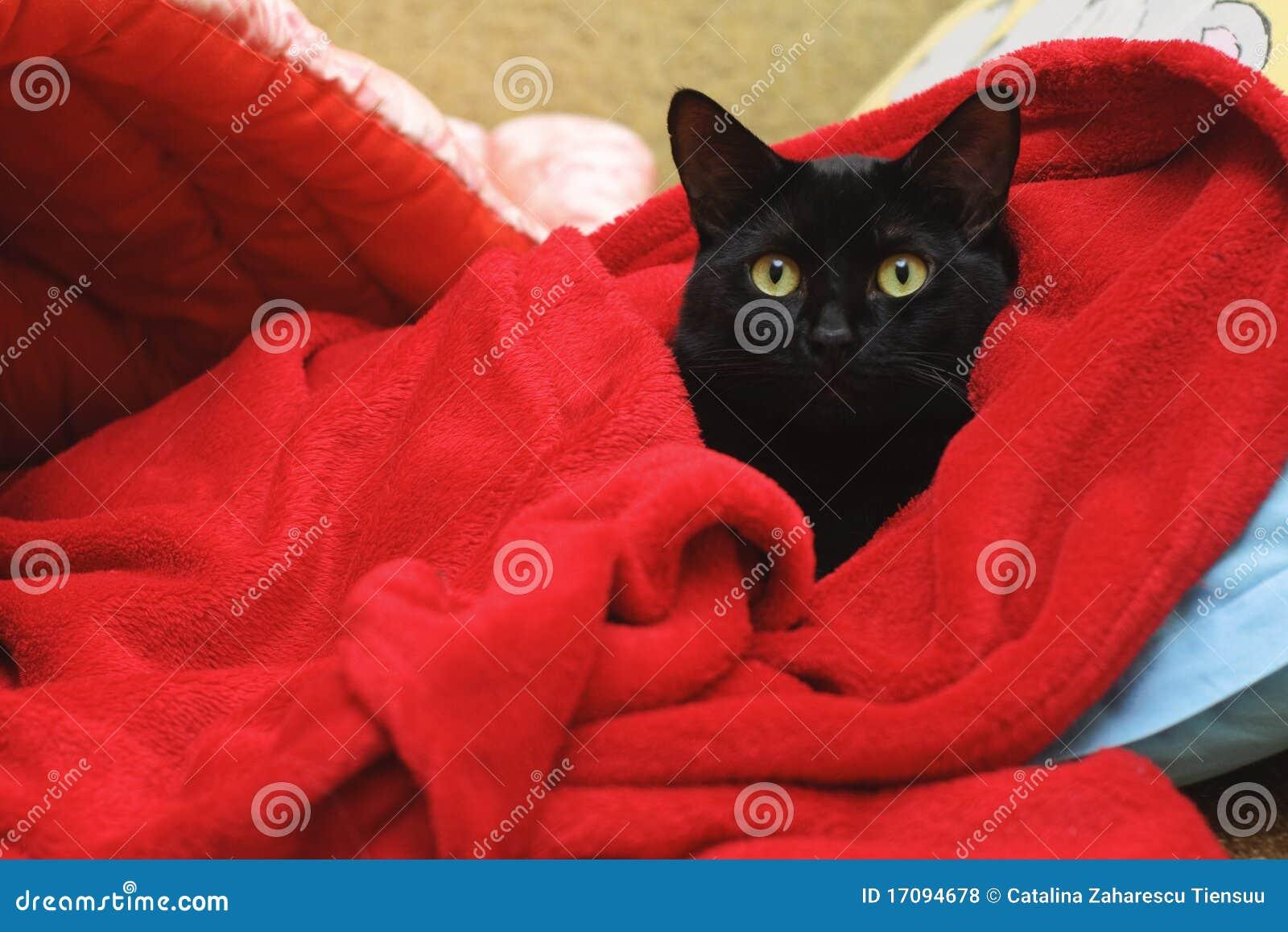 Black cat under a red blanket