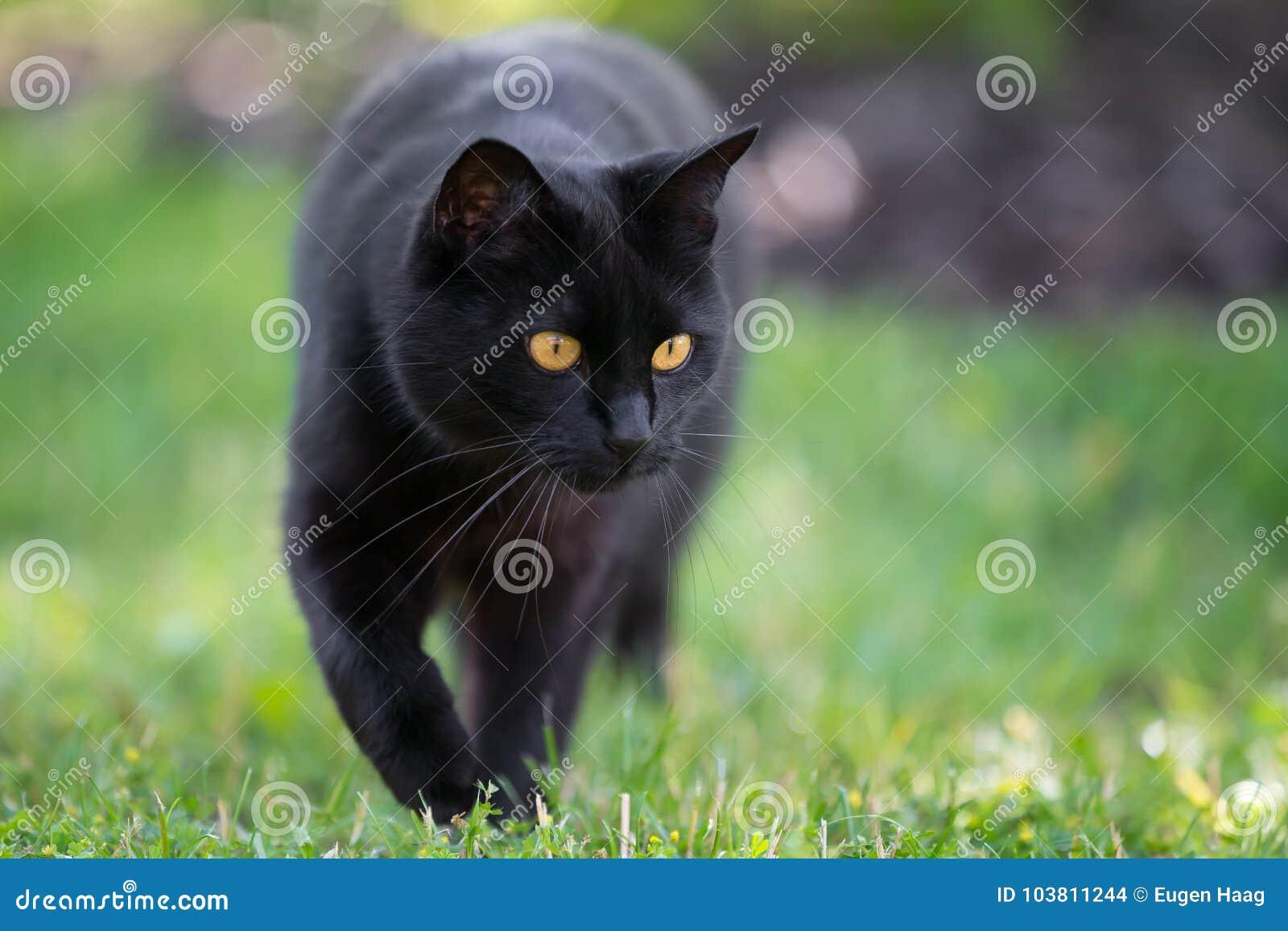 Black cat is walking through the grass