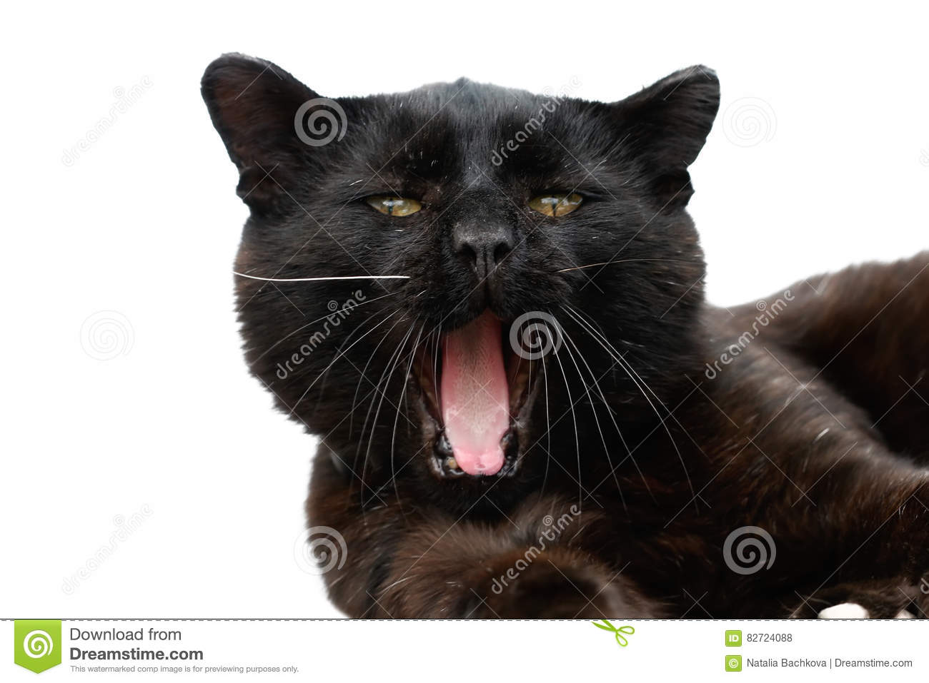 Black Cat Yawning With Its Mouth Wide Open Stock Photo Image Of