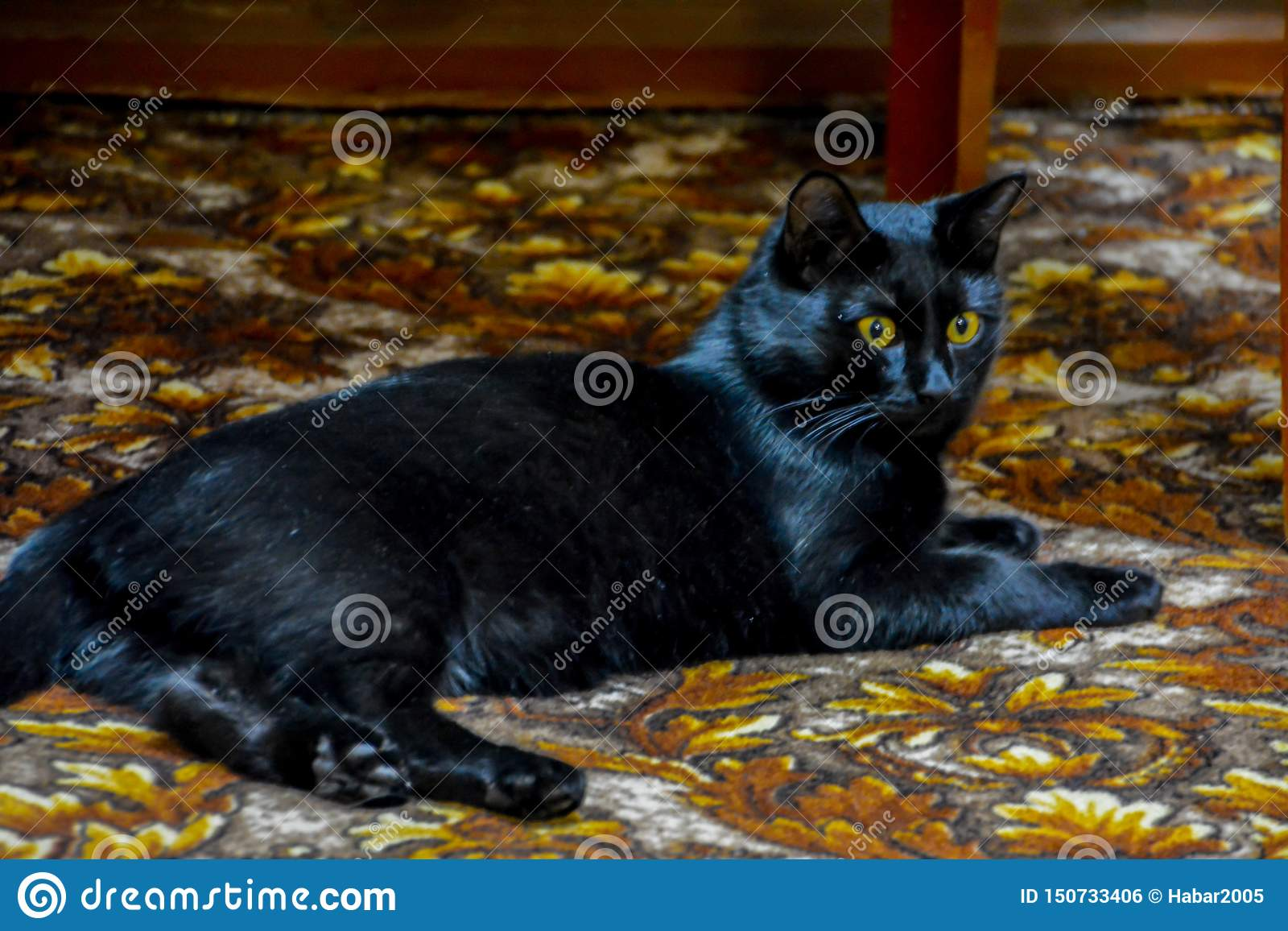 The black cat with yellow eyes lying on the carpet