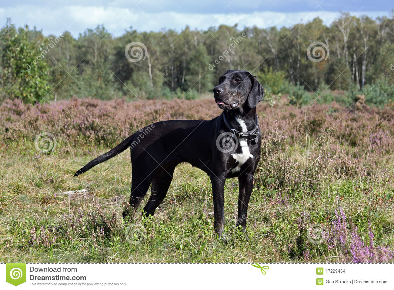 Black Catahoula Leopard Dog Pictures