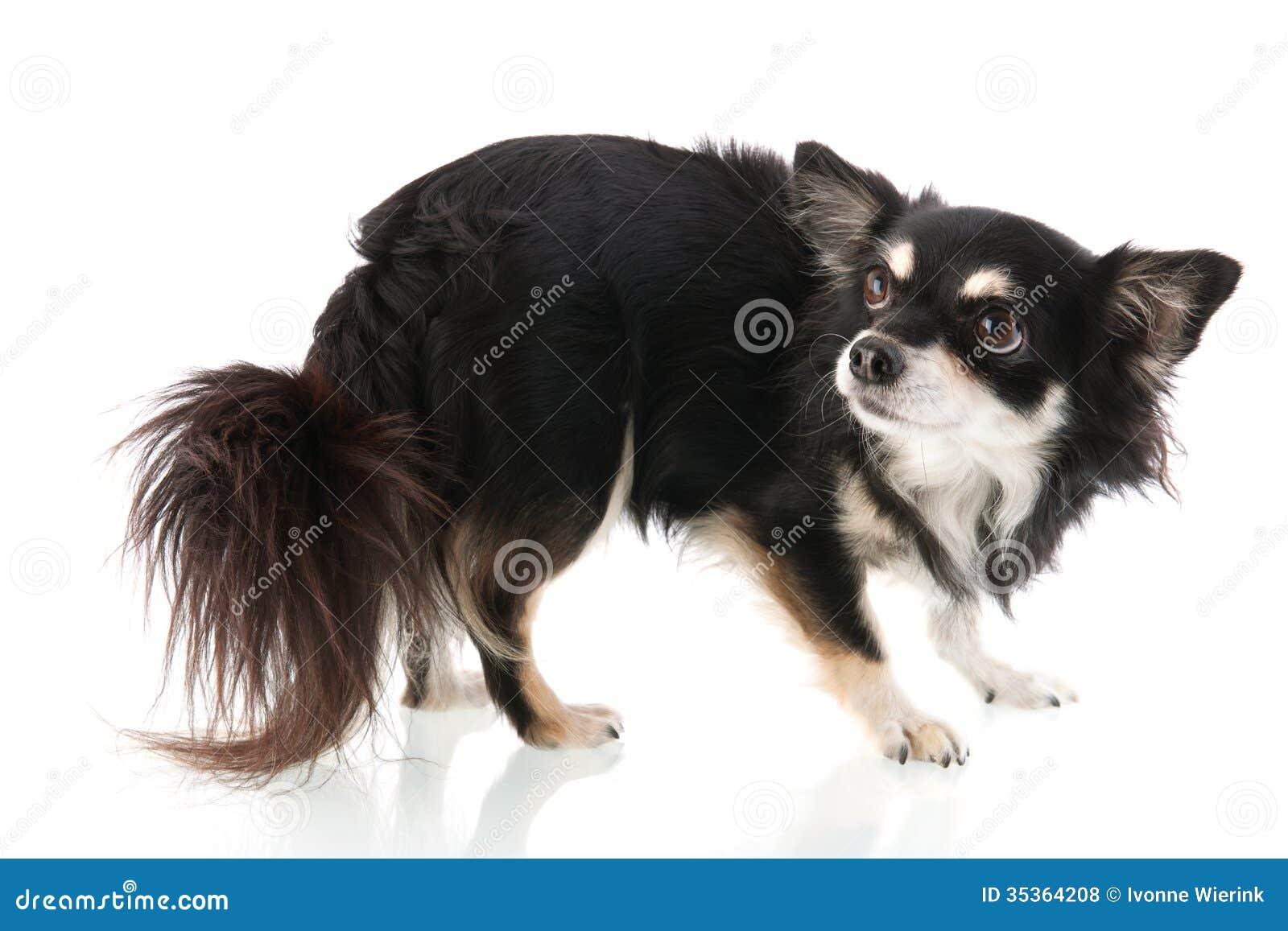 Black Chihuahua Royalt...