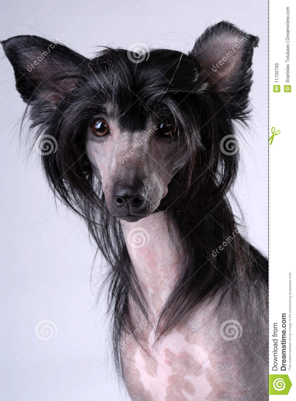 Chinese Crested Hairless Dog Black