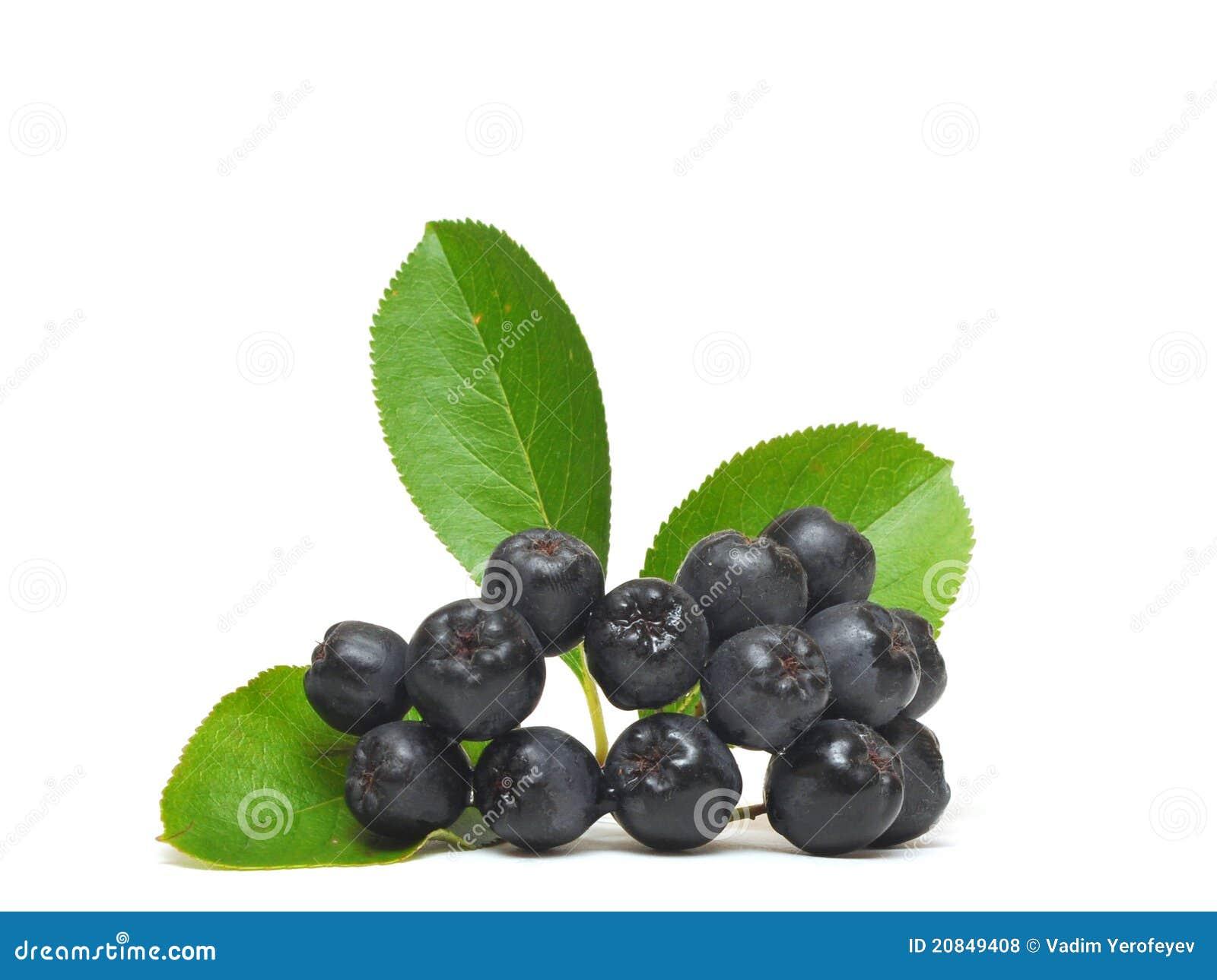 black chokeberry royalty free stock photos image 20849408. Black Bedroom Furniture Sets. Home Design Ideas