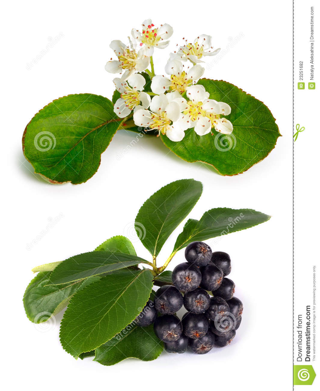Black Chokeberry (Aronia Melanocarpa) Stock Photography - Image ...